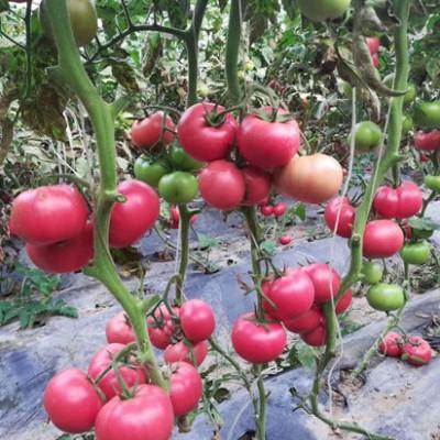 建湖西红柿育苗厂 夏番茄种苗基地