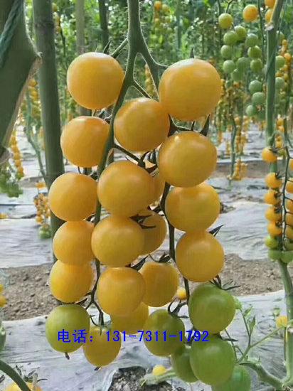 榆林西红柿苗 铁皮西红柿育苗厂