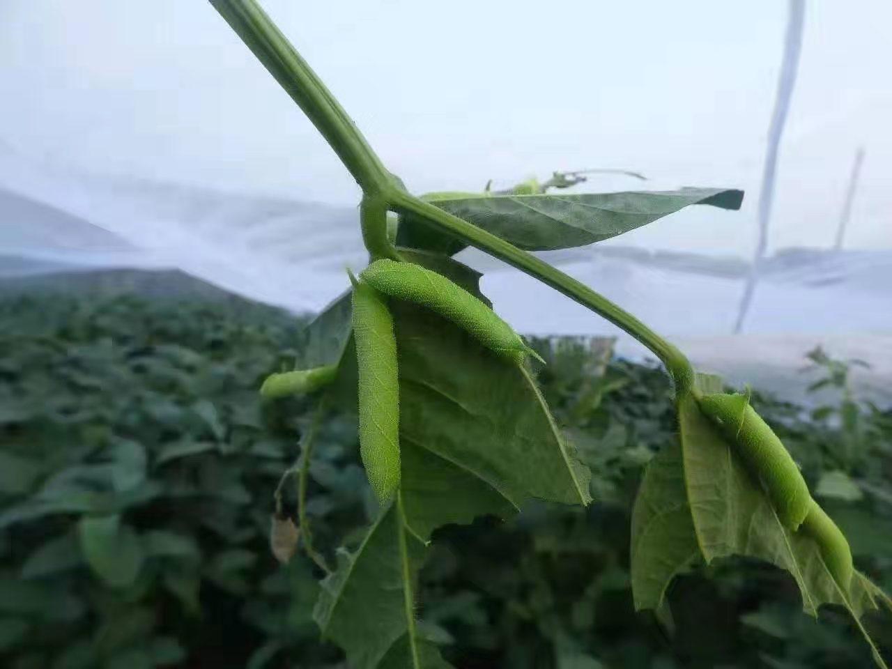 豆虫网结实全新料豆丹防虫网大宽幅加工特别好用